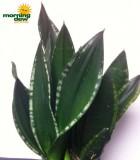 sansevieria whitney snake plant