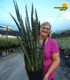 sansevieria wintergreen snake plant