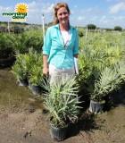 saw palmetto palm silver serenoa repens