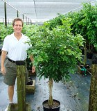 schefflera arboricola braid tree