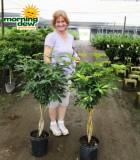 schefflera arboricola braid