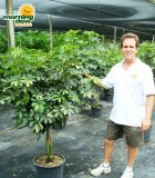schefflera arboricola braid gold capella