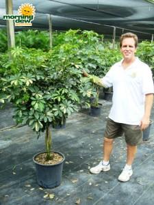 schefflera arboricola braid gold capella