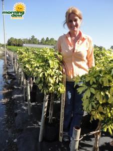 schefflera arboricola braid trinette