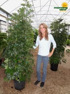 schefflera arboricola bush