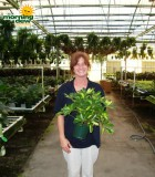 schefflera arboricola bush gold capella