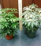 schefflera arboricola bush luseanne variegated
