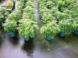 schefflera arboricola bush mini