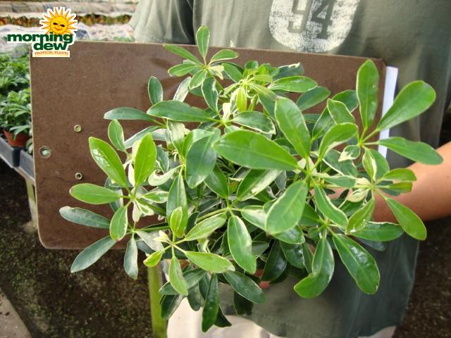 Schefflera Arboricola Bush Mini Variegated 4 in - Morning Dew Tropical