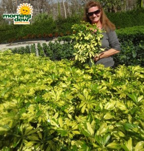 schefflera arboricola bush trinette