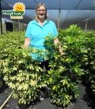 schefflera arboricola bush variegated