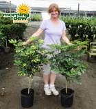 schefflera arboricola tree