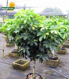 schefflera arboricola tree gold capella