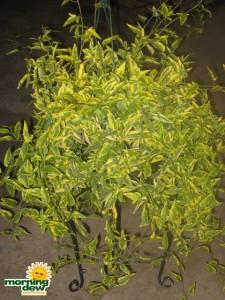 solenum variegated
