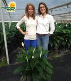 spathiphyllum heaven Peace Lily