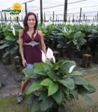 spathiphyllum alpha Peace Lily