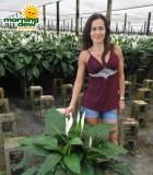 spathiphyllum avalon Peace Lily