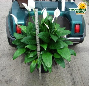 spathiphyllum claudia Peace Lily