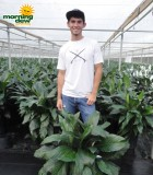 spathiphyllum compacto Peace Lily