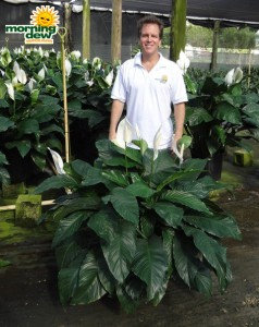 spathiphyllum delight Peace Lily