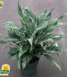 spathiphyllum disco Peace Lily