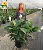 spathiphyllum figaro Peace Lily