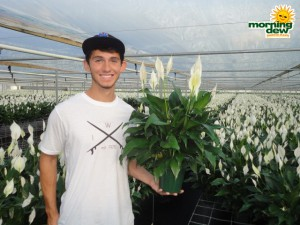 spathiphyllum high five Peace Lily