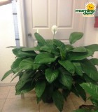 spathiphyllum lynise Peace Lily