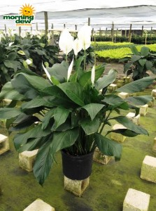 spathiphyllum maestro Peace Lily