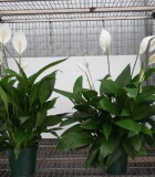 spathiphyllum mojo Peace Lily