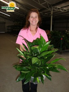 spathiphyllum power petite Peace Lily