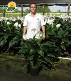 spathiphyllum rocky Peace Lily