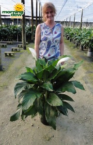 spathiphyllum supreme Peace Lily