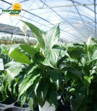 spathiphyllum sweet chico Peace Lily