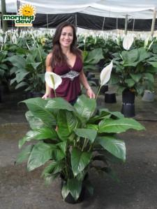 spathiphyllum sweet lauretta Peace Lily