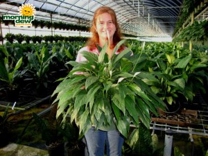 spathiphyllum tys pride Peace Lily