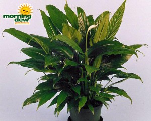 spathiphyllum viscount Peace Lily