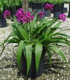 spathoglottis ground orchid