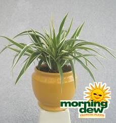 spider plant dwarf