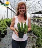 stapelia cactus
