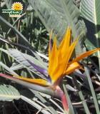 strelitzea reginae orange bird of paradise bloom