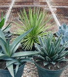 succulents agave assorted