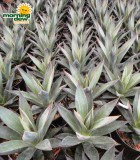 succulents agave blue glow