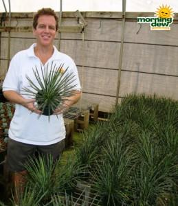 succulents agave gemniflora rasta man