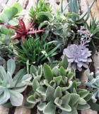 succulents assorted
