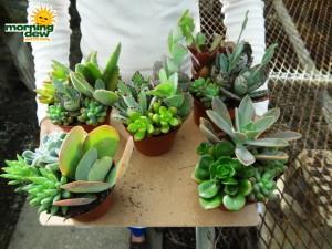 succulents combo garden