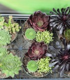 succulents dish gardens