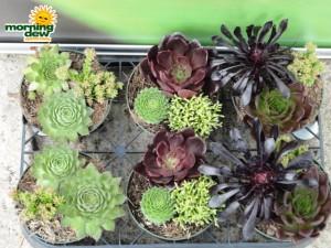 succulents dish gardens