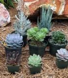 succulents echeveria