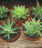 succulents haworthias